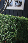 Buxus hybrid 'Green Gem'