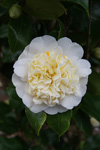 Camellia japonica 'Brushfields Yellow'