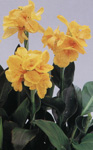Canna x generalis 'Tropical Yellow'