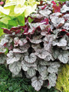 Heuchera  'Prince of Silver'