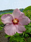 Hibiscus  'Blueberry Hill'