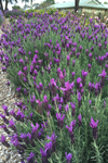Lavandula  'Sensation� Purple'