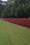 Photinia glabra 'Supa Red'