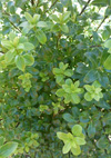 Pittosporum tenuifolium 'Mountain Green'