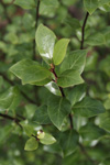 Pittosporum tenuifolium 'Oliver Twist'