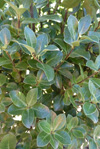 Pittosporum ralphii 'Stephens Island'